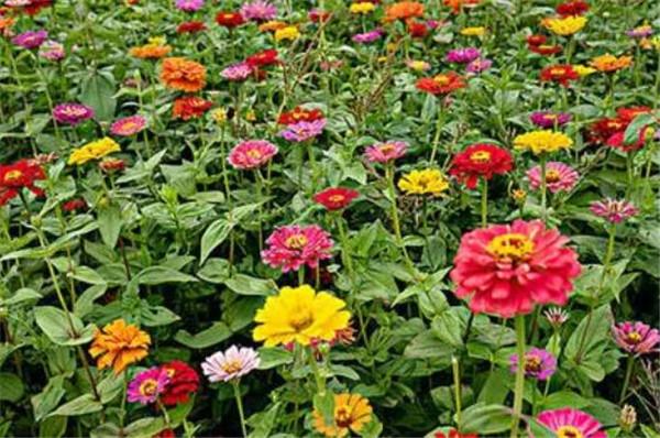 百日菊的花语和寓意 描写百日草花的句子