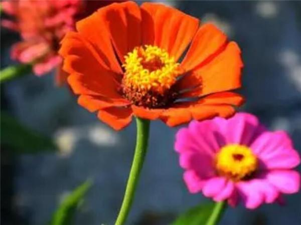 百日菊种子种植方法 撒种子就能活的花有哪些