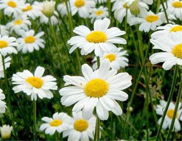 除虫菊种子适合什么时候种 除虫菊和洋甘菊有什么区别