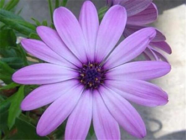 除虫菊素能杀什么虫 除虫菊对人体有害吗