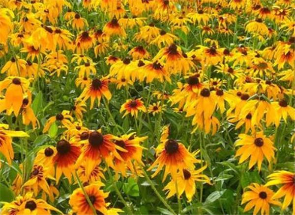 黑心菊种子的种植方法 黑心菊几天发芽