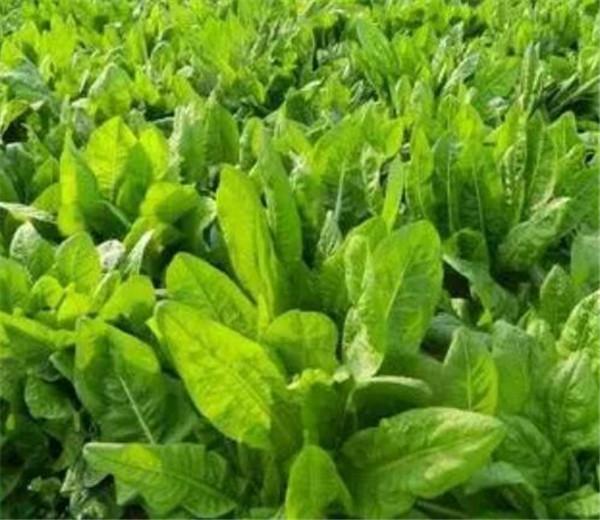 菊苣的功效与作用 菊苣菜什么时候种植