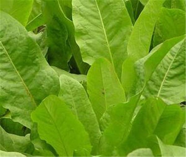 菊苣草种子多少天可以收割 菊苣种植技术