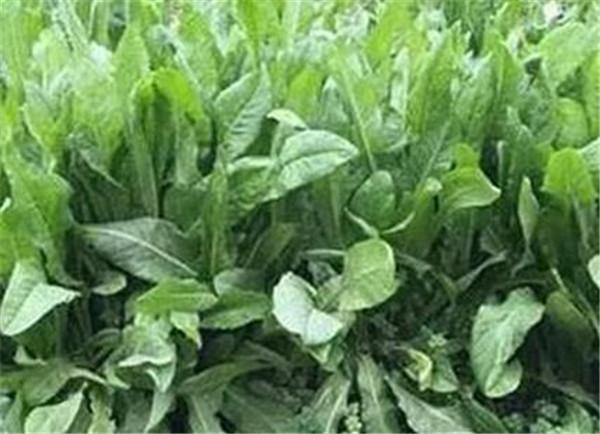 菊苣草种子是不是多年生 菊苣根茶的功效与作用