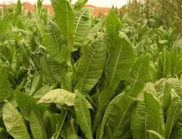 将军菊苣牧草的优缺点 将军菊苣的种植方法和时间