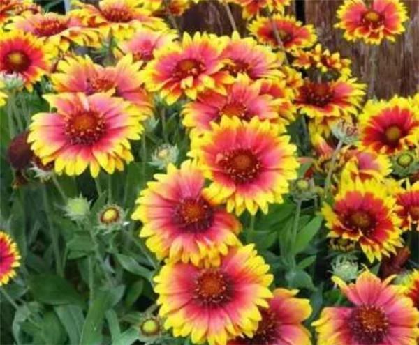 天人菊几月播种 天人菊花期有多长