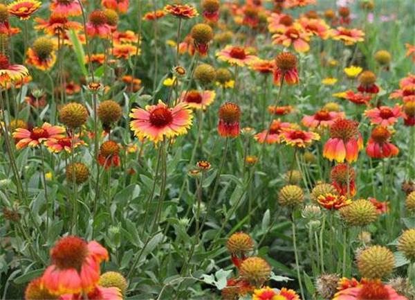 天人菊种子的种植方法 天人菊种子多少钱一斤