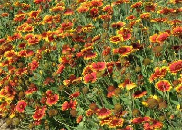 天人菊是多年生吗 耐寒的多年生宿根草花