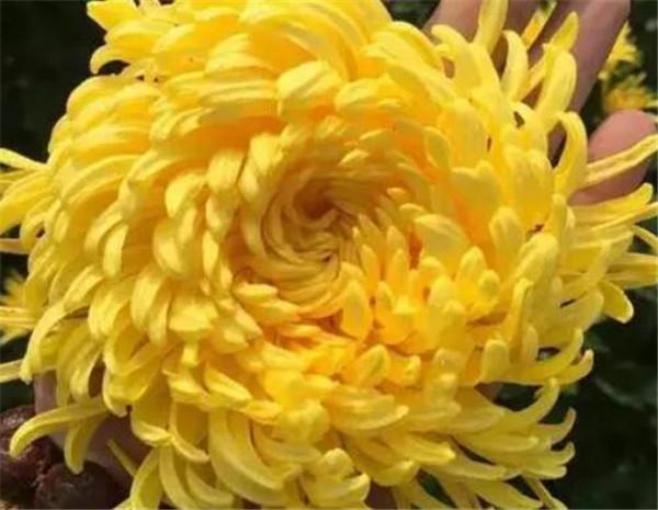 球菊一年开几次花 球菊的花语和寓意