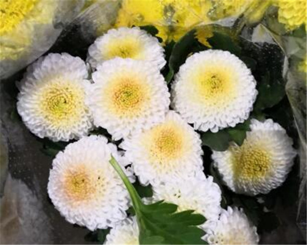 球菊的养殖方法和注意事项 球菊如何度夏