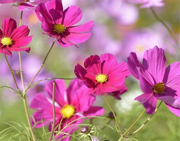 波斯菊的花语是什么 波斯菊种植方法