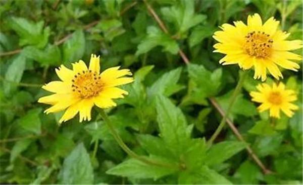 蟛蜞菊的功效与作用 蟛蜞菊种子种植技术