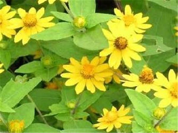 南美蟛蜞菊可以食用吗 白花蟛蜞菊可以喝吗