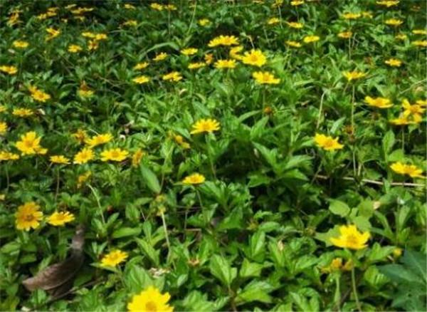 三裂叶蟛蜞菊雄蕊类型 三裂蟛蜞菊是如何传入我国