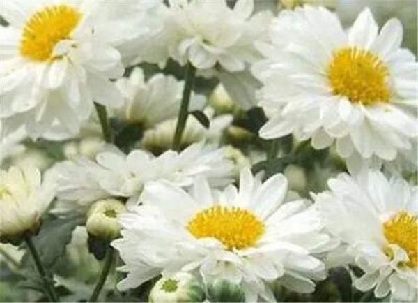 滁菊的功效与作用 滁菊多少钱一斤