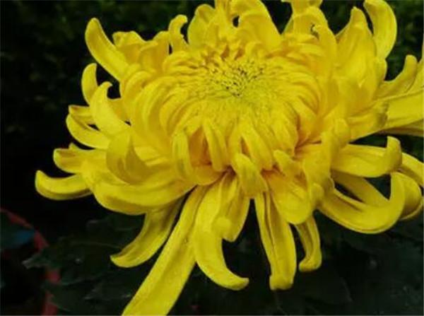 菊花的种类名称和图片 菊花的寓意和象征
