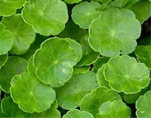 香菇草的功效和作用 香菇草和铜钱草区别