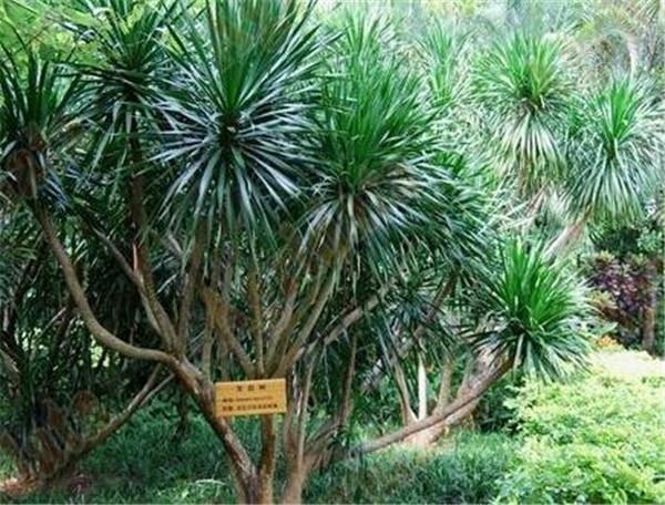 龙血树繁殖方法 龙血树水培生根要点