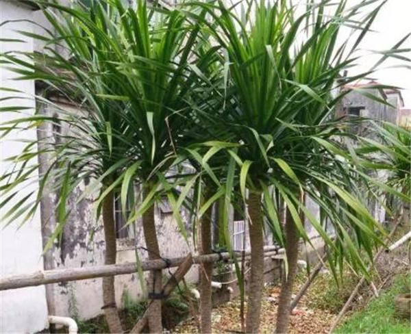 龙血树属有几个品种 龙血树属于乔木还是灌木