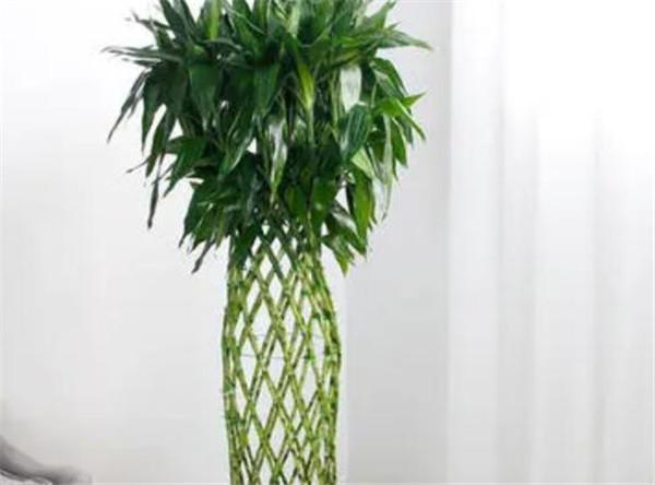 叶仙龙血树是什么植物 叶仙龙血树怎么养