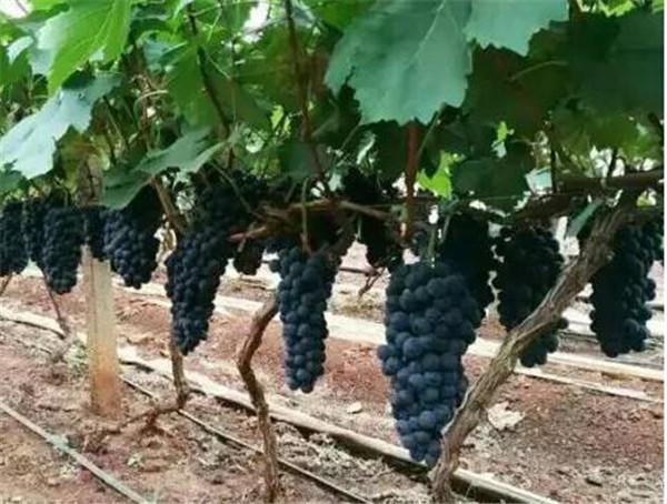 葡萄苗的种植方法和技术 葡萄的品种有哪些