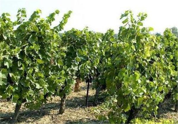 买葡萄苗几年的最好 葡萄如何授粉