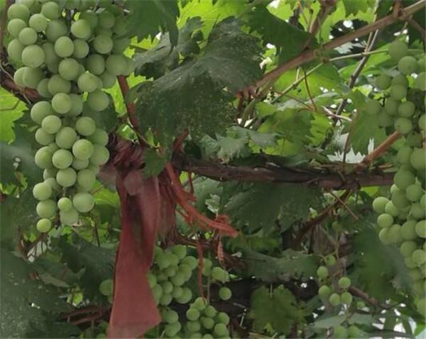 葡萄树浇水一般多少天浇一次 葡萄树浇水过多是不是不结果