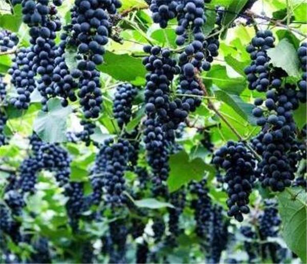 葡萄是酸性还是碱性 孕妇能吃葡萄吗
