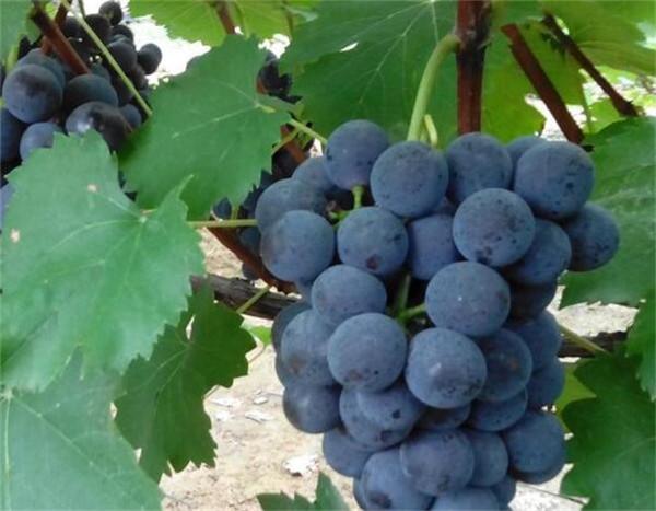 吃葡萄会长胖吗 葡萄的营养价值有哪些
