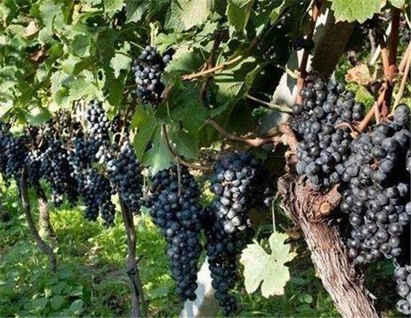 葡萄怎么吃比较好 葡萄怎么洗