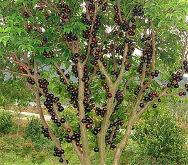树葡萄修剪技术图解 树葡萄好吃吗