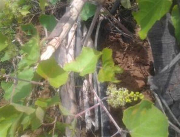 野葡萄藤的功效与作用 野葡萄能嫁接家葡萄吗