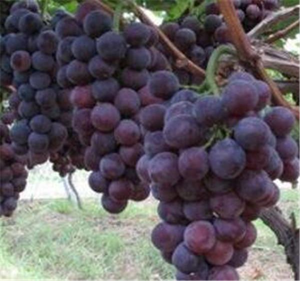 夏黑葡萄几月份成熟上市 夏黑葡萄苗优缺点