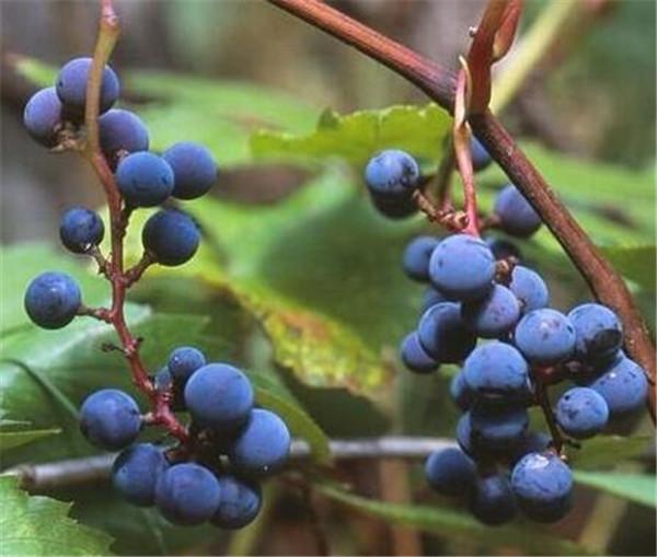 山葡萄的功效与作用 山葡萄酒的酿制方法