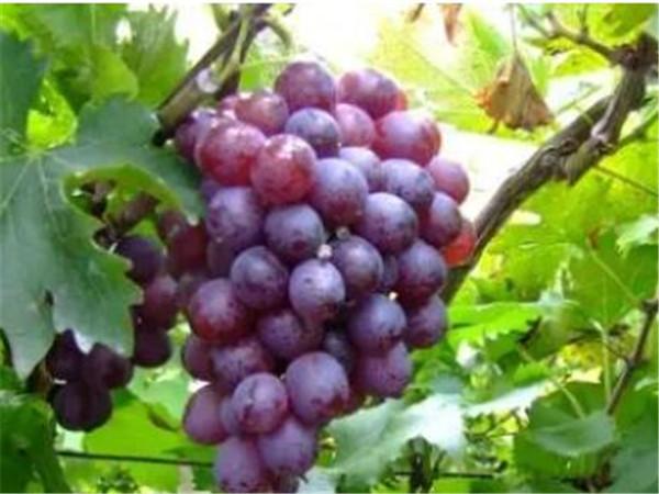 大泽山葡萄节什么时间 大泽山葡萄什么时候成熟