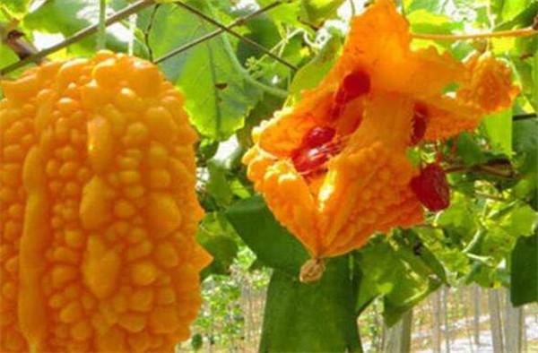 癞葡萄怎么种植与施肥 盆栽赖葡萄怎么养