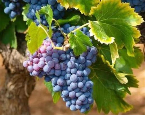 酿酒葡萄品种的主要特点 酿酒葡萄有哪些品种
