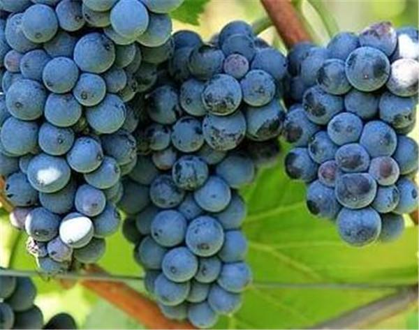 紫葡萄的热量高吗 紫葡萄的功效与作用