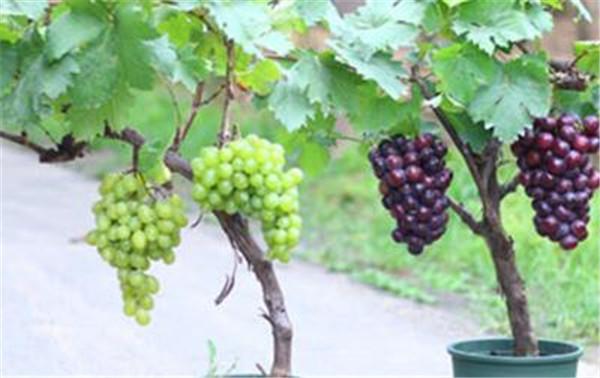 盆栽葡萄怎样剪枝 盆栽葡萄的种植方法和技术