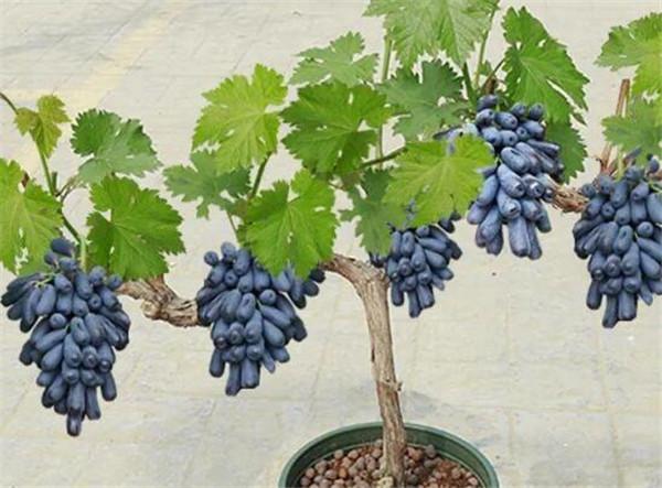 盆栽葡萄怎么施肥好 盆栽葡萄用多大的盆合适