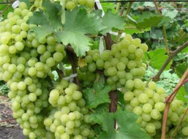 新疆葡萄的品种有哪些 新疆葡萄几月份成熟