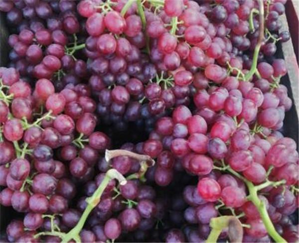 无籽葡萄的营养价值 无籽葡萄有哪些品种
