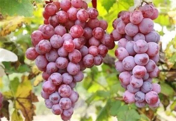 红提葡萄的种植方法和技术 红提葡萄什么时候开花