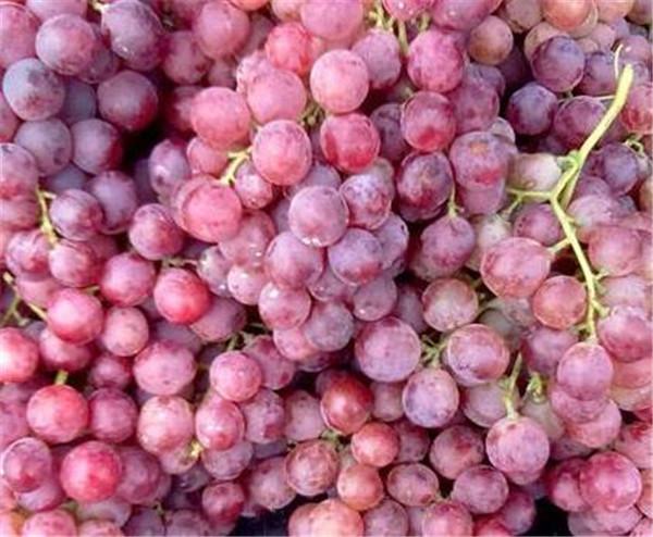 红提葡萄苗哪个品种好 红提葡萄开花期要施什么肥