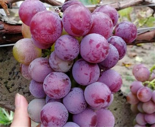 户太八号自然坐果怎样 户太八号葡萄保果膨大方法