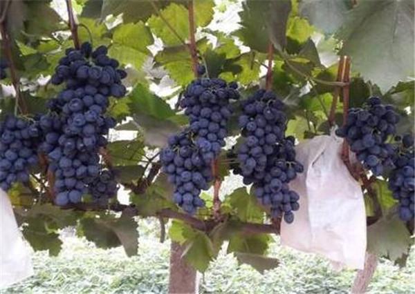 摩尔多瓦葡萄的优缺点 摩尔多瓦葡萄管理技术