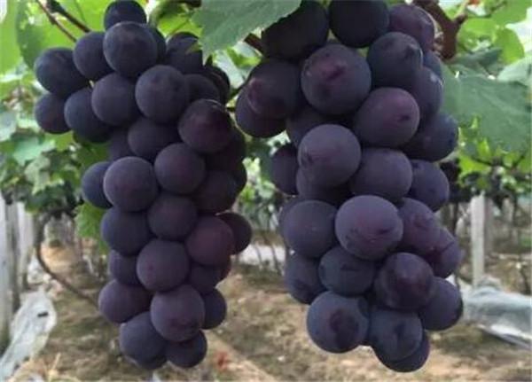 巨峰葡萄有籽吗 巨峰葡萄亩产量多少斤