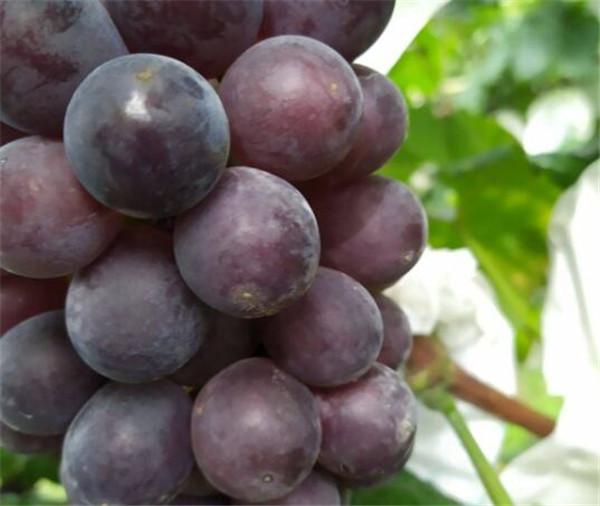 巨峰葡萄的种植方法和技术 巨峰葡萄保花保果用什么药