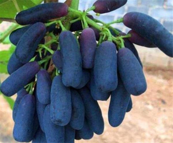 蓝宝石葡萄多少钱一斤 蓝宝石葡萄优缺点