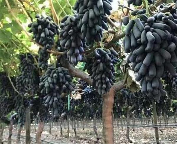 蓝宝石葡萄好吃吗 蓝宝石葡萄苗适合什么地方种植